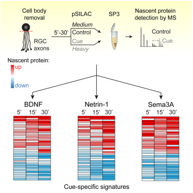 Rapid Cue-Specific Remodeling of the Nascent Axonal Proteome