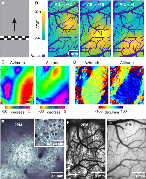 Imaging Cortical Dynamics in GCaMP Transgenic Rats with a