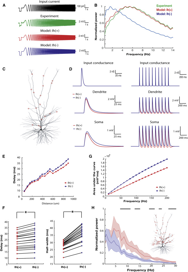 h-Channels Contribute to Divergent Intrinsic Membrane