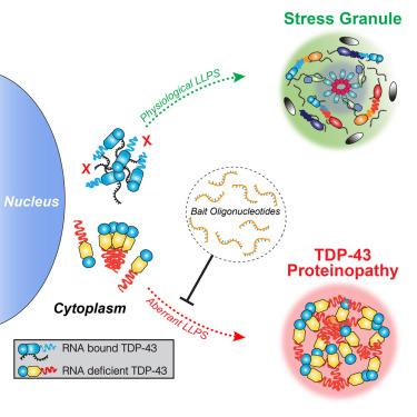 RNA Binding Antagonizes Neurotoxic Phase Transitions of TDP