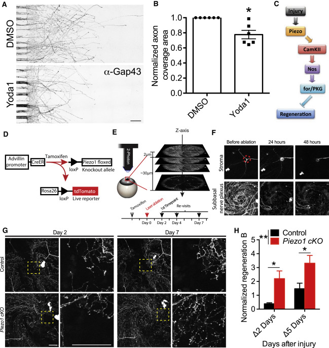 The Mechanosensitive Ion Channel Piezo Inhibits Axon ... on
