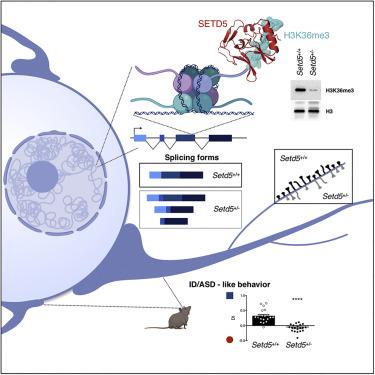 SETD5 Regulates Chromatin Methylation State and Preserves ... on