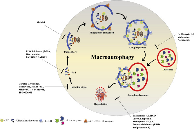 Autophagy: A new concept in autoimmunity regulation and a