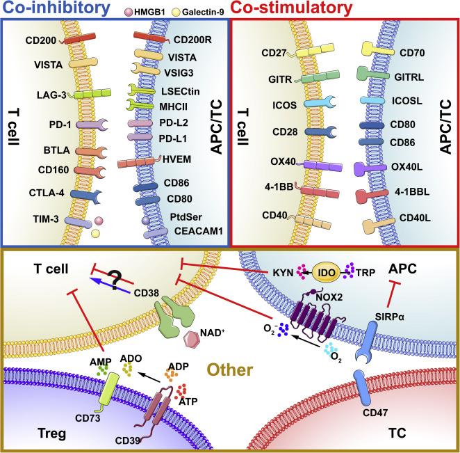 diabetes tipo 1 inmunologia celular