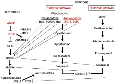 Apoptosis And Autophagy In Polycystic Kidney Disease Pkd
