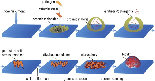 Biofilm formation and food safety in food industries