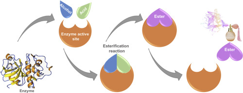 A review on enzymatic synthesis of aromatic esters used as flavor