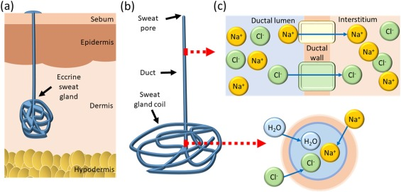 Sweat sensing in the smart wearables era: Towards integrative