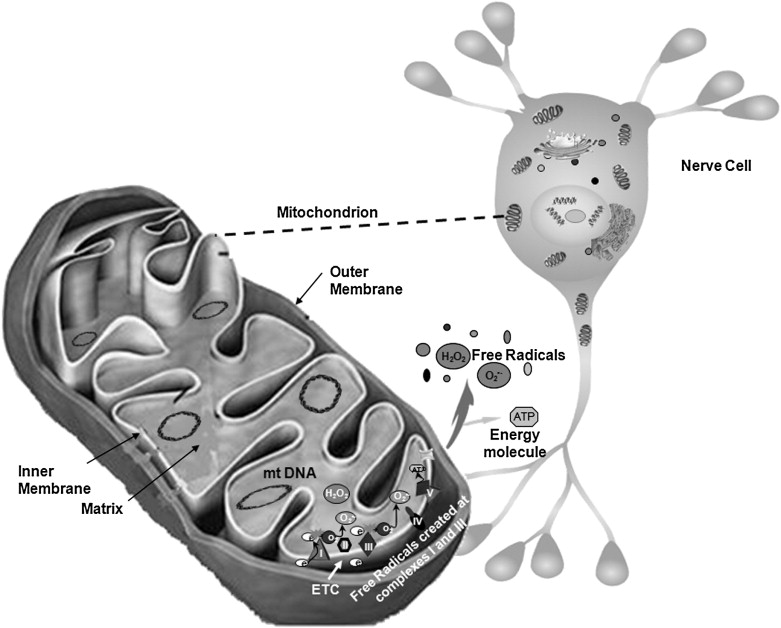 Impaired Recycling Of Mitochondria In >> Mitochondrial Dysfunction Is A Trigger Of Alzheimer S