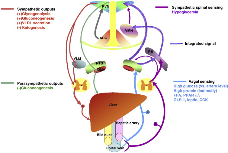 The role of the autonomic nervous liver innervation in the control ...