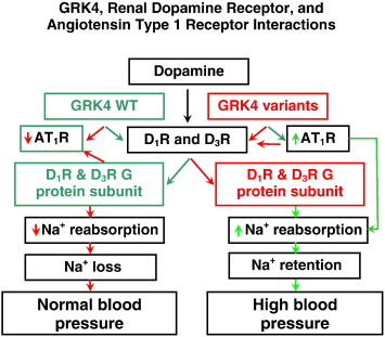 Dopamine and G protein-coupled receptor kinase 4 in the