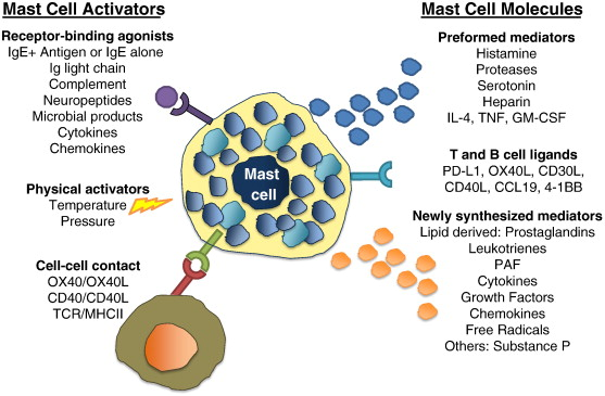 New insights into the role of mast cells in autoimmunity: Evidence
