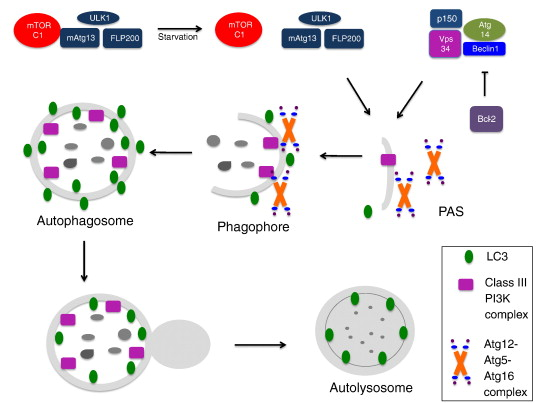 Autophagy and mesenchymal cell fibrogenesis - ScienceDirect