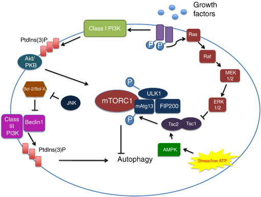 Autophagy and mesenchymal cell fibrogenesis - ScienceDirect
