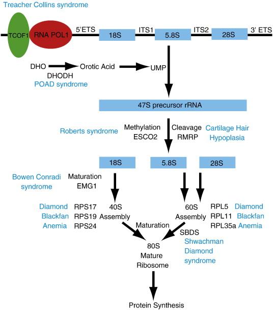 Ribosome Biogenesis In Skeletal Development And The Pathogenesis Of