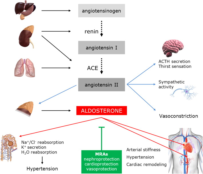 Aldosterone Signaling And Soluble Adenylyl Cyclasea Nexus For The. Download Fullsize 1 Regulation Of Aldosterone. Wiring. Aldosterone Hormone Feedback Loop Homeostasis Diagram For At Scoala.co