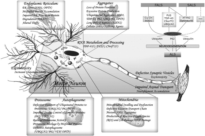 Sporadic and hereditary amyotrophic lateral sclerosis (ALS