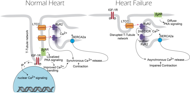 Chronic heart failure: Ca2 +, catabolism, and catastrophic