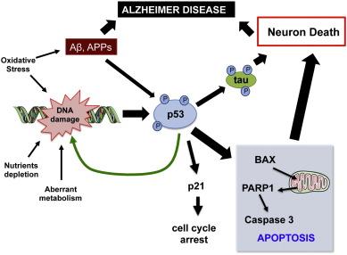 「p53 mechanism cancer alzheimer」の画像検索結果
