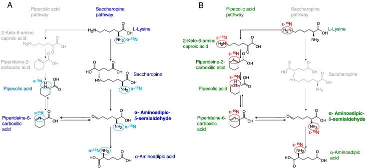 Mouse lysine catabolism to aminoadipate occurs primarily through the