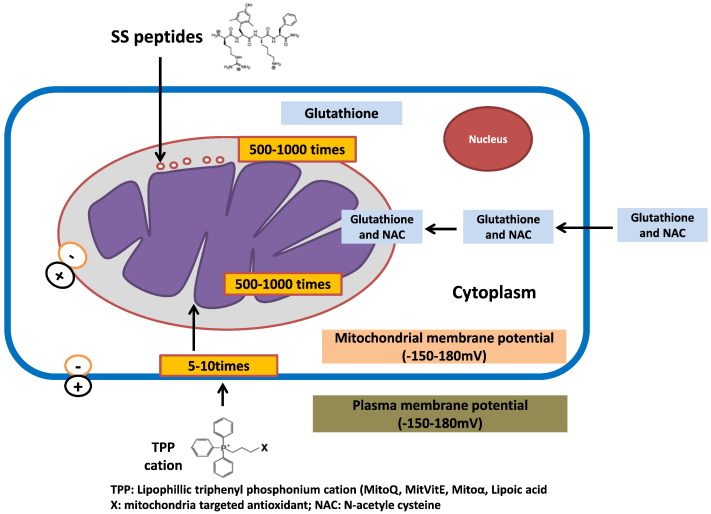 Mitochondrial Dysfunction And Oxidative Stress In Metabolic