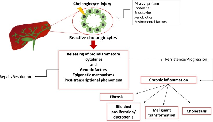 Role of inflammation and proinflammatory cytokines in cholangiocyte
