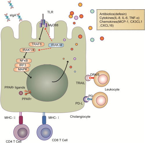 How The Biliary Tree Maintains Immune Tolerance Sciencedirect