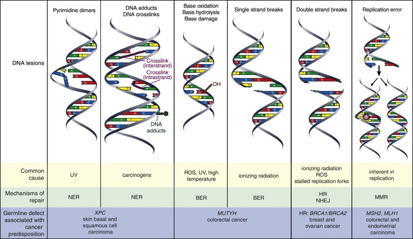 Mechanisms of DNA damage repair in adult stem cells and