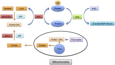 Interplay between NAD+ and acetyl‑CoA metabolism in ischemia