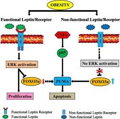 Colorectal cancer and obesity. Rolul nutriţiei în cancer, Colorectal cancer and obesity