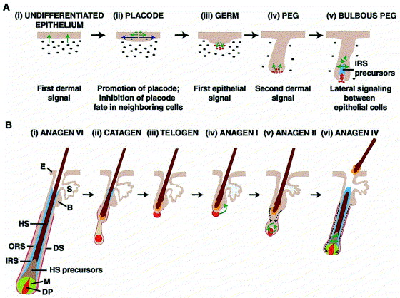 Characterization Of Wnt Gene Expression In Developing And Postnatal