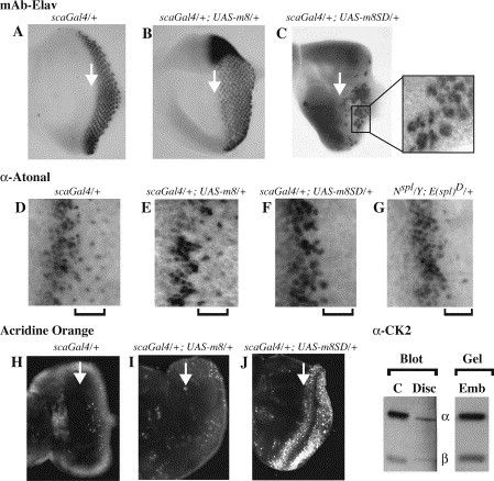 Drosophila CK2 regulates eye morphogenesis via phosphorylation of E