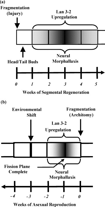 explain the difference between fragmentation and regeneration
