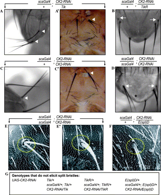 Drosophila CK2 regulates lateral-inhibition during eye and bristle