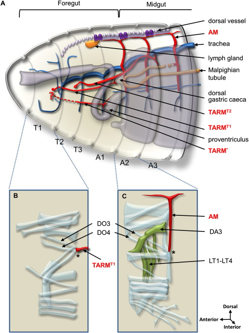 Hox control of Drosophila larval anatomy; The Alary and Thoracic ...