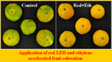 Effect of the combination of ethylene and red LED light irradiation