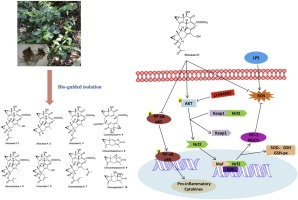 Anti-inflammatory lindenane sesquiterpeniods and dimers from