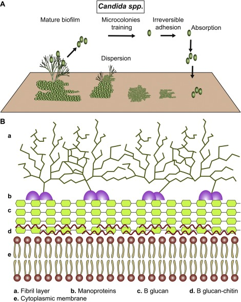 Biofilms and vulvovaginal candidiasis - ScienceDirect