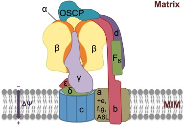 Regulation of mitochondrial structure and function by