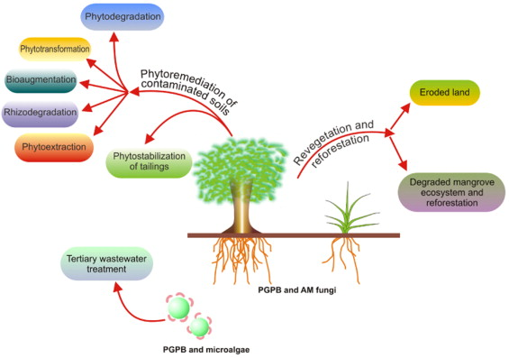Bioremediation of contaminants by plants