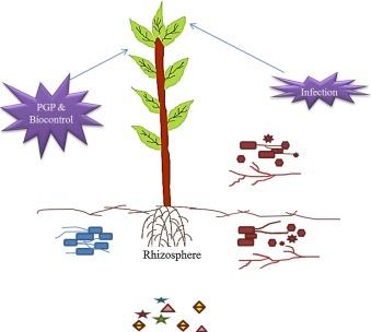 Scaevola striata asexual reproduction in bacteria