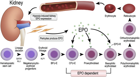 Physiology and pathophysiology of renal erythropoietin-producing cells -  ScienceDirect