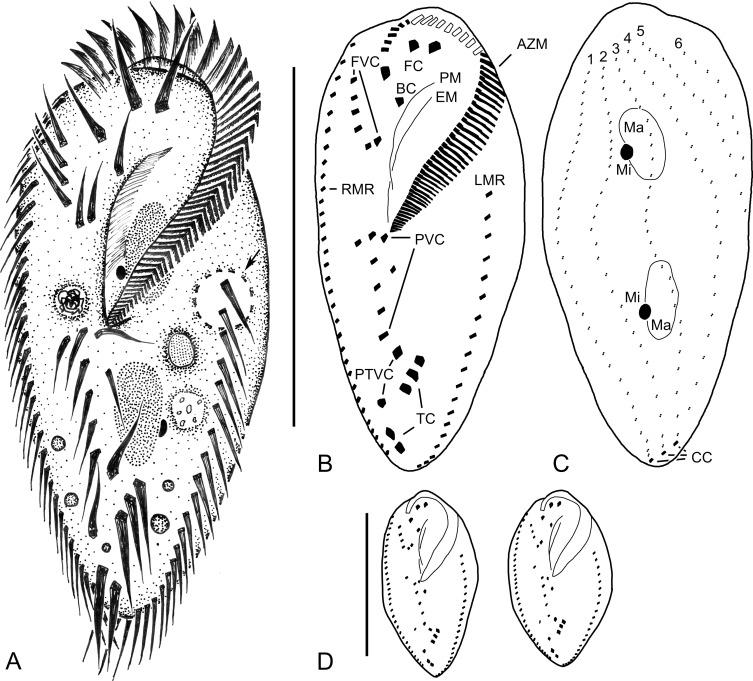 Morphology Morphogenesis And Molecular Phylogeny Of Pleurotricha