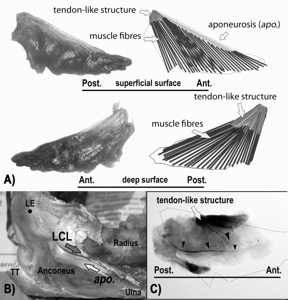 Revisiting The Anatomy And Biomechanics Of The Anconeus Muscle And