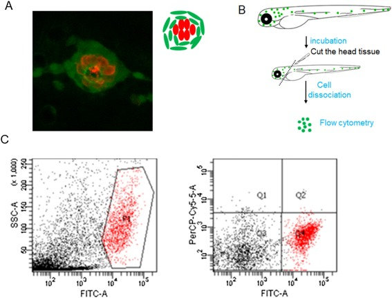 Wnt/β-catenin signaling was activated in supporting cells during