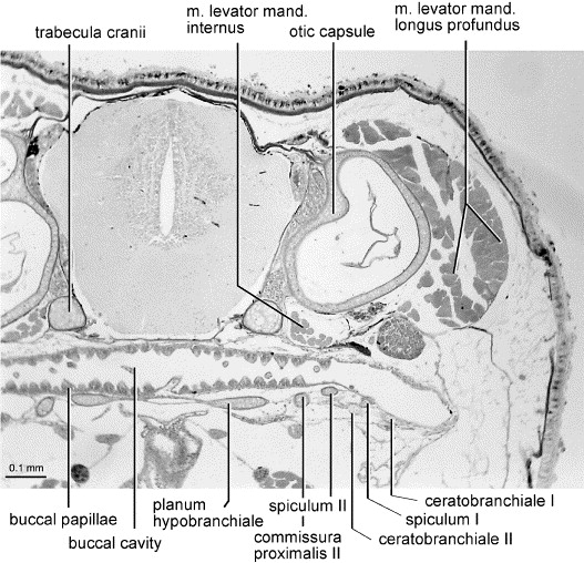 Extreme Tadpoles The Morphology Of The Fossorial Megophryid Larva Leptobrachella Mjobergi Sciencedirect A synchondrosis (or primary cartilaginous joint) is a type of cartilaginous joint where hyaline cartilage completely joins together two bones. leptobrachella mjobergi