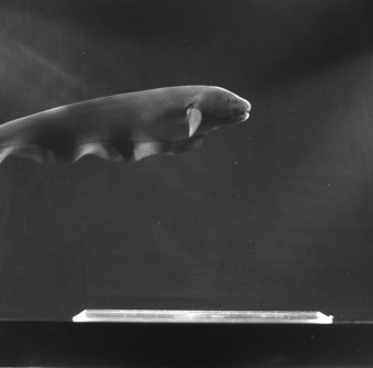 Locomotion of free-swimming ghost knifefish: anal fin