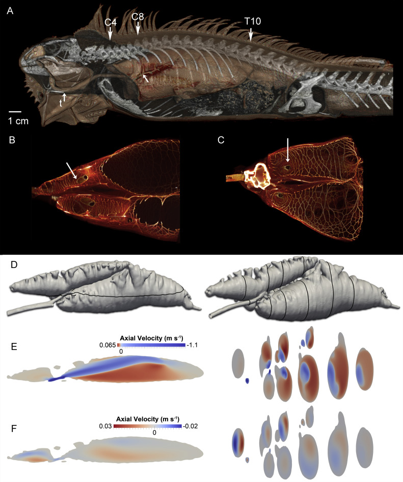 Unidirectional flow in lizard lungs: a paradigm shift in our ...