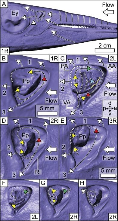 Motion-driven flow in an unusual piscine nasal region - ScienceDirect