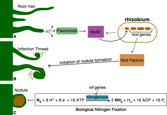 Legume growth promoting rhizobia an overview on the mesorhizobium schematic overview of the nodulation process and biological nitrogen fixation ccuart Choice Image